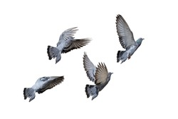 Movement Scene of Group of Rock Pigeons Flying in The Air Isolated on White Background with Clipping Path