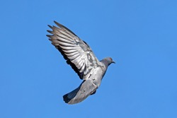 Movement Scene of Rock Pigeon Flying in The Air Isolated on Blue Sky