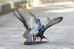 Movement Scene of Two Rock Pigeons were Fighting Isolated on Background