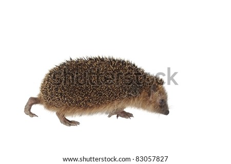 moving hedgehog on white background
