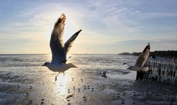 Moving Seagulls fly in a flock, to escape the cold of the North Sea to get warm in the winter of Asia's mangroves, sea mud evening sunset background in vintage tone.(Bangpu)