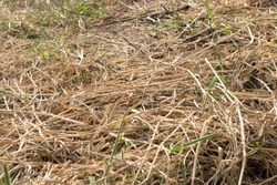 Mowed grasses in close-up are just trying to hay. Loose hey of mowed grass while drying. Hay, dry mowed grass
