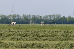 Mowed hay on the field, grown by farmers for pasture, hay and stock feed in the Hetherlands. selective focus.