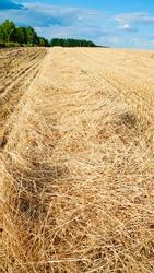 Mown ears of wheat. Mown wheat field