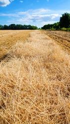 Mown ears of wheat. Mown wheat field. Blue clear sky