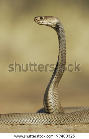 Mozambique Spitting Cobra (Naja mossambica) hooded and alert, Soouth Africa