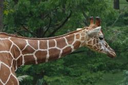 Mr Longneck Giraffe in a young jungle