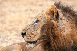 Mr T Mapogo Lion looking over his kingdom in the Sabi Sand Game Reserve a few years ago.