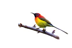 Mrs. Gould's Sunbird or Blue-throated Sunbird  or Aethopyga gouldiae, beautiful bird isolated perching on branch with white background and clipping path, Wild Himalayan Cherry.