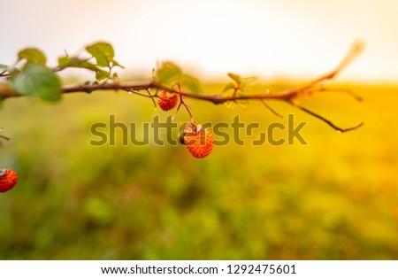 Mt. Ulap Wild Berries #1292475601