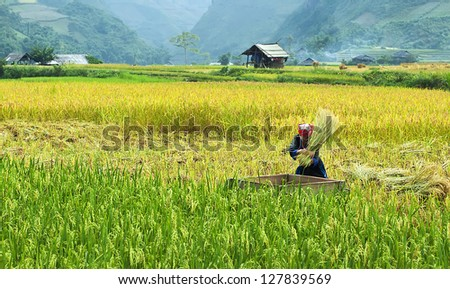 MUCANGCHAI,VIETNAM - OCTOBER 12 : Hmong's rice was harvested in October 12, 2011 at Mucangchai. Hmong is one of ethnic people, they live at Mucangchai where is the north of Vietnam.