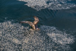 mucilage in the sea and young seagull in distress, environmental pollution,