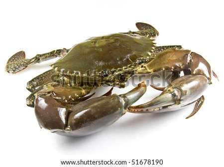 Mud crab alive