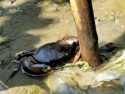 Mud crab in the mangrove forest