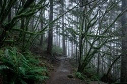Mud trail going through a eerie, spooky forest with low clouds and mist. Lots of trees, moss and humidity. Shot on the Rattlesnake Trail in Seattle, Washington.