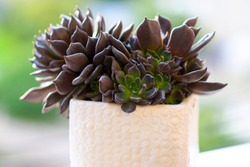 Muda Suculenta Echeveria Black Prince, Negra, succulents cactus plant in a white flower pot on nature outdoor background. Side view. Hello summer concept.
