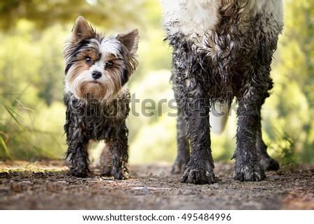 Muddy little dog stands next to a muddy big dog