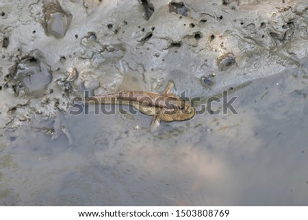 Mudskipper fish, Amphibious fish, Fish on the mangrove.