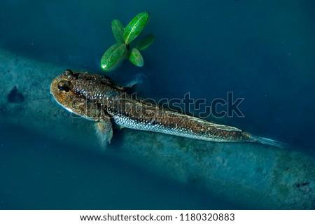 Mudskipper fish water #1180320883