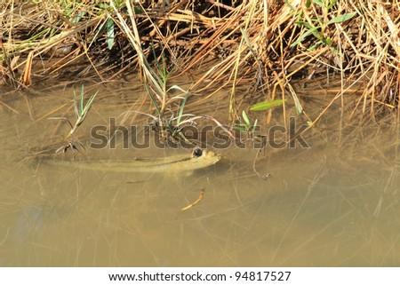 Mudskipper in a mangrove swamp on the coast of thailand