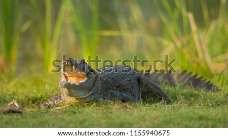mugger crocodile (Crocodylus palustris =