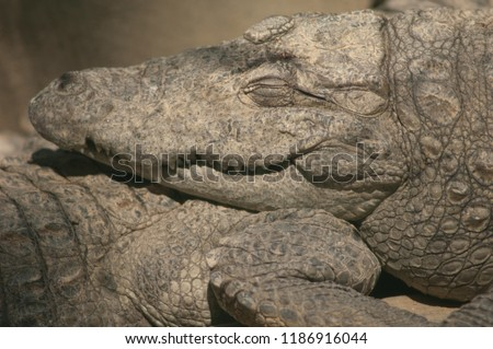 Mugger crocodile (Crocodylus palustris) sleeping. Captivity breeding center. Sasan Gir. Gujarat. India.