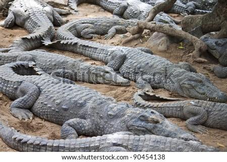 Mugger or Marsh Crocodile (Crocodylus palustris)