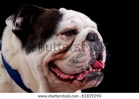Mugshot studio portrait of an adult , pure breed , english bulldog.