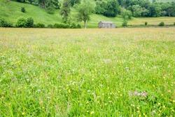 Muker hay meadows in June