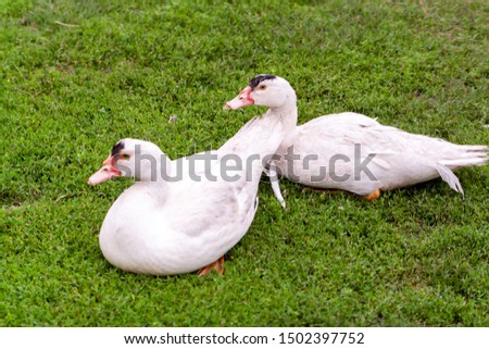 Mulard duck on green grass. Ducks with cropped beaks. Debeaking. An adult birds which has been beak-trimmed as a duckling.