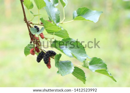 Mulberry fruit branches are both ripe and not ripe.