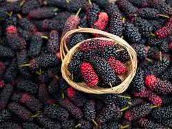 Mulberry in Viet Nam. Mulberry fruit in summertime. Fresh Mulberrys
