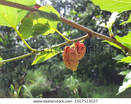 Mulberry is a Fruit.With a sweet and sour taste