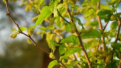 Mulberry leaves. Green flowering natal or pod of Sahtoot plant with green fruits. Mulberry plant flowers in winter season. Concept of freshness and renovation.