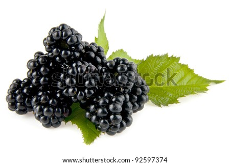 mulberry-tree on a white background