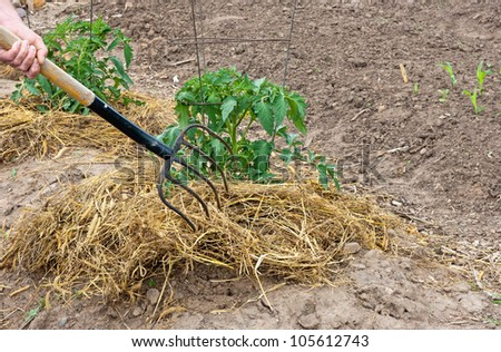 mulching tomato plants with straw to help conserve moisture - stock photo