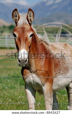 Mule at Fence