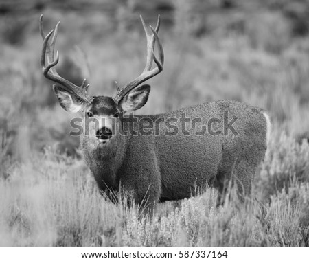 MULE DEER/BIG BUCK/MULE DEER #587337164