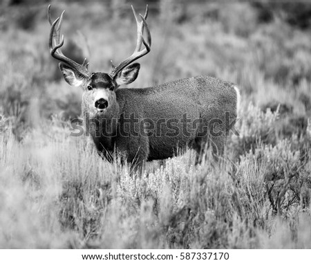 MULE DEER/BIG BUCK/MULE DEER #587337170