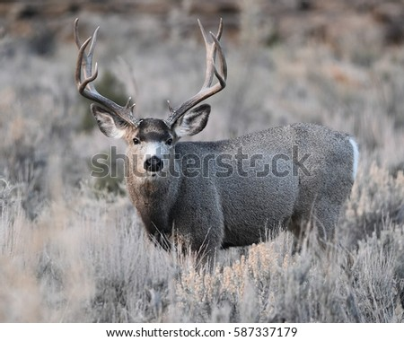 MULE DEER/BIG BUCK/MULE DEER #587337179