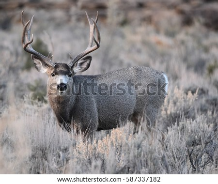 MULE DEER/BIG BUCK/MULE DEER #587337182