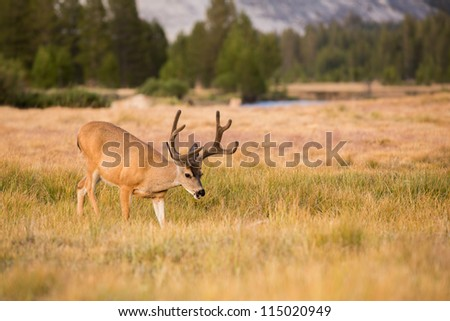 Mule Deer Buck Grazing in Meadow