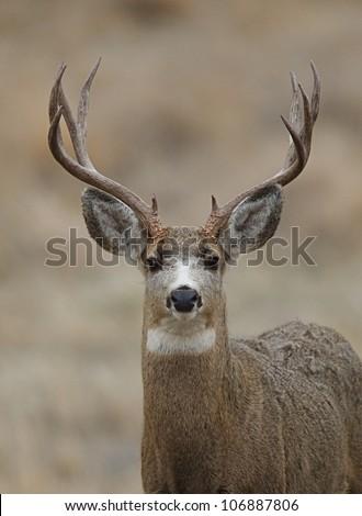 Mule Deer Buck head shot, facing head-on toward camera #106887806