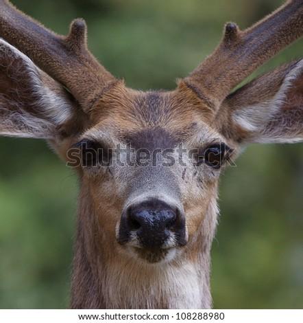 Mule Deer Buck, highly detailed close-up