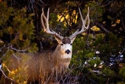 Mule deer buck in Mesa Verde National Park, Colorado.