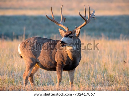 Mule Deer Buck standing in a field of tall grass on an cold Autumn morning at sunrise. #732417067