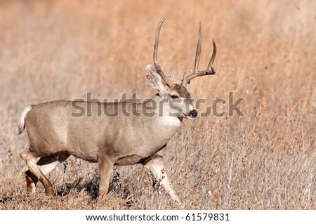 Mule deer buck walking through meadow in New Mexico
