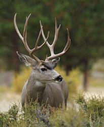 Mule Deer Buck with huge antlers, profile portrait