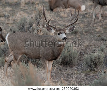 Mule deer bucks during rut #232020853