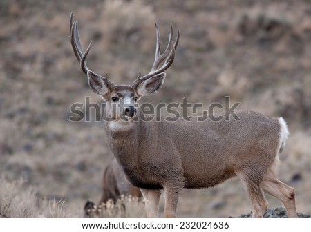 Mule deer bucks during rut #232024636